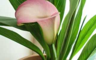 Ароидные комнатные растения: фото и названия