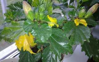 Почему у Гибискуса желтеют и опадают листья