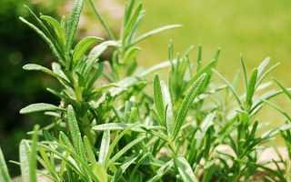Розмарин: выращивание, посадка и уход в открытом грунте