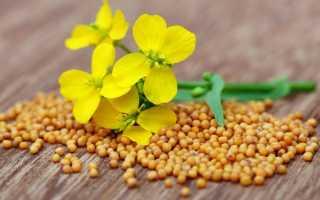 Растение Горчица: как расчет и как выглядит популярная приправа + фото