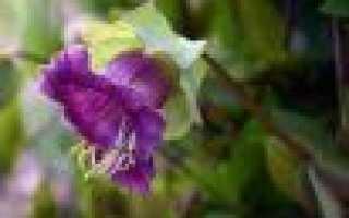 Кобея лазающая: посадка и уход, выращивание из семян в домашних условиях