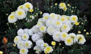 Хризантема корейская: сорта и их описание, выращивание и уход, фото