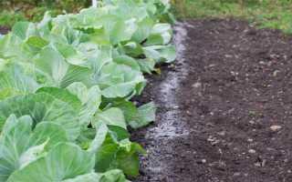 Подкормка капусты после посадки в грунт: выбор удобрения в разные периоды