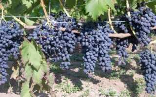 """Виноград """"Надежда АЗОС"""": описание сорта, фото, отзывы"""