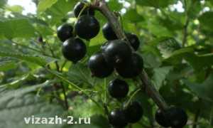 """Смородина """"Селеченская 2"""": описание сорта, фото, отзывы"""