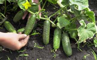 Как сажать семена огурцов в открытый грунт