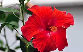 Как ухаживать за китайской розой: посадка, размножение, выращивание, уход