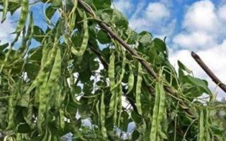 Посадка семенами и уход за фасолью в открытом грунте