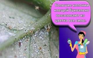 Паутинный клещ на комнатных растениях: как бороться и предотвратить в будущем