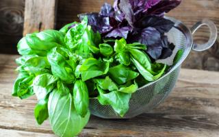 Как вырастить хороший урожай базилика в открытом грунте из семян?