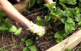 Обработка клубники от болезней и вредителей
