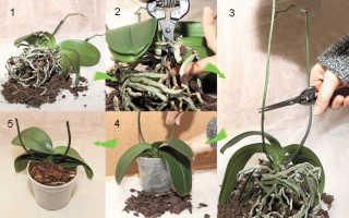 Можно ли пересаживать орхидею во время цветения