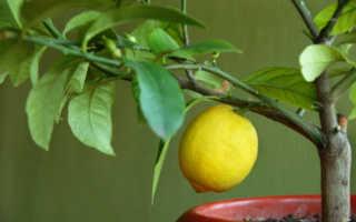 Чем подкормить лимон в домашних условиях