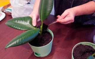 Как посадить фикус отростком в домашних условиях