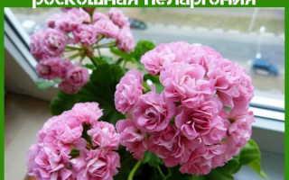 Розебудные пеларгонии: фото, описание, посадка и уход