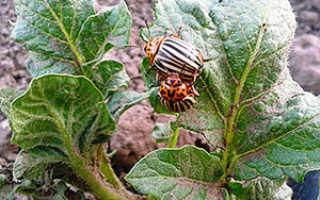Средства от колорадского жука на картошке – народные методы борьбы