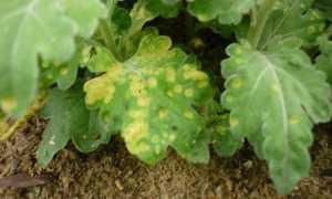 Болезни хризантем с фото и их лечение