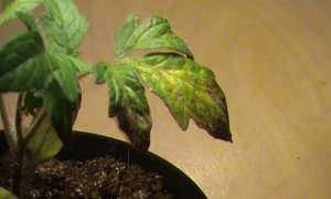 Что делать, когда сохнут листья у помидоров?
