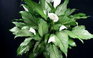 Удобрение для спатифиллума: чем поливать цветок, чтобы он цвел