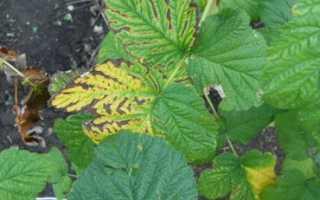 Болезни малины с фото и их лечение