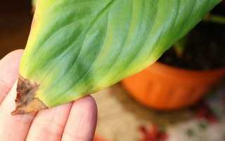 Почему сохнут и желтеют кончики листьев у комнатных растений и что делать
