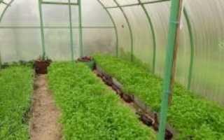 Сидераты в теплице: какие лучше сеять
