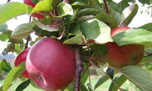 """Яблоня """"Макинтош"""": описание сорта, фото, отзывы"""