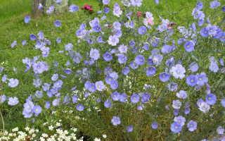 Лен многолетний: выращивание из семян, посадка и уход