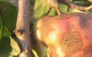 Парша на яблоне: как бороться весной и осенью