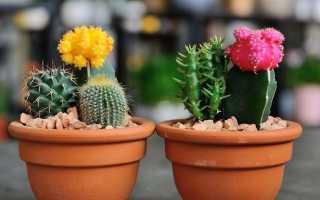Как посадить кактус из отростка в горшок