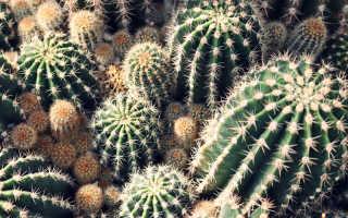 Кактусы: виды и разновидности с фото