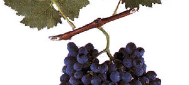 "Виноград ""Саперави"": описание сорта, фото"