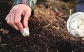 Посадка озимого чеснока осенью: сроки и технология