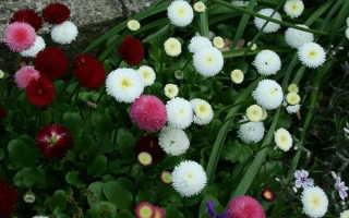 """Цветы """"Маргаритки"""": фото, посадка и уход в открытом грунте"""