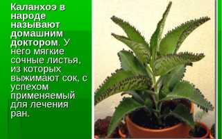Размножение каланхоэ черенками и листом