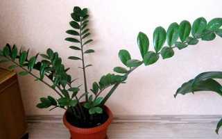 """Комнатное растение """"Замиокулькас"""": посадка и уход, фото"""