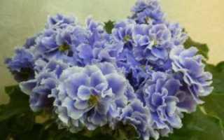 """Фиалка """"Голубой туман"""" – фото и описание"""