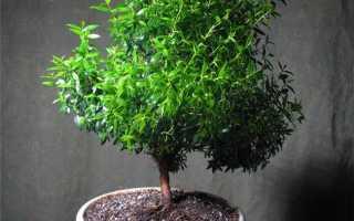 Миртовое дерево: описание, фото, уход в домашних условиях