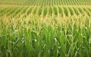 Чем подкормить кукурузу: профессиональные и народные средства