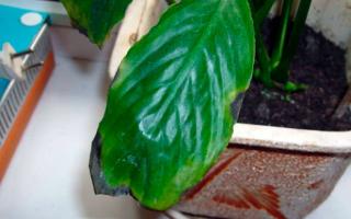 Почему чернеют листья у Спатифиллума и что делать