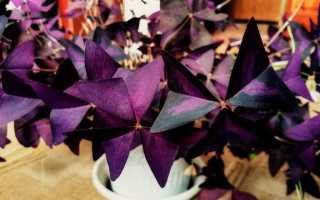 Кислица фиолетовая: посадка и уход в домашних условиях