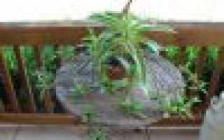 """Цветок """"Золотой ус"""": уход и выращивание в домашних условиях"""