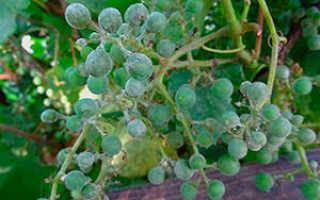 Оидиум винограда: фото и чем его лечить