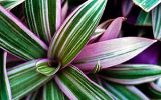 "Цветок ""Рео"": фото, польза и вред, уход в домашних условиях"