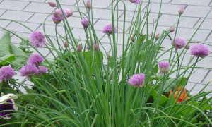 Лук-Шнитт: выращивание и уход, фото, описание