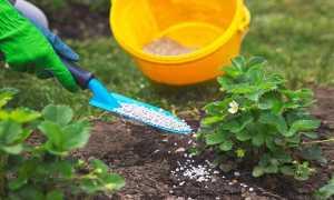 Чем подкормить клубнику весной для хорошего урожая без химии
