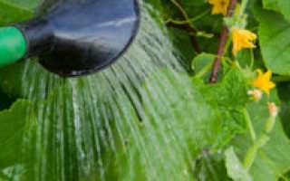Как часто поливать огурцы в теплице из поликарбоната