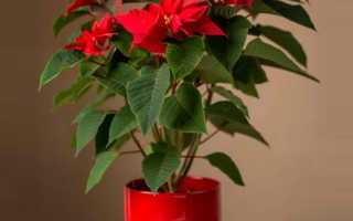 "Цветок ""Рождественская звезда"": фото, размножение и уход в домашних условиях"