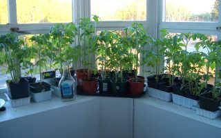 Выращивание помидоров на подоконнике в домашних условиях