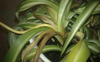 Почему желтеют листья у хлорофитума и что делать
